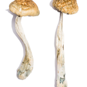 McKennaii Magic Mushrooms